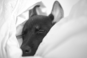 Barkley as a wee puppy, submersed in the comforter and dreams.